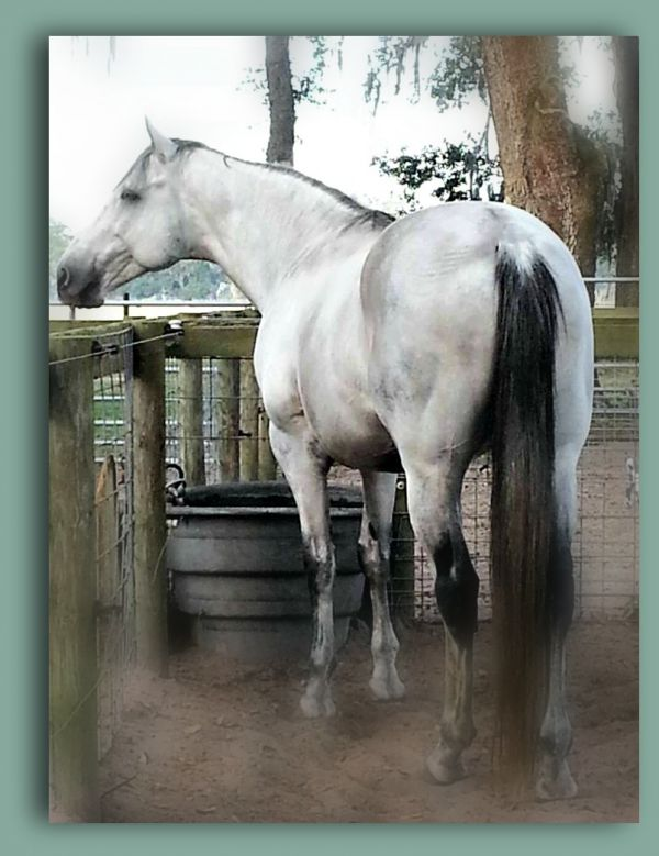 Grey Thoroughbred Stallion for Sale in Florida