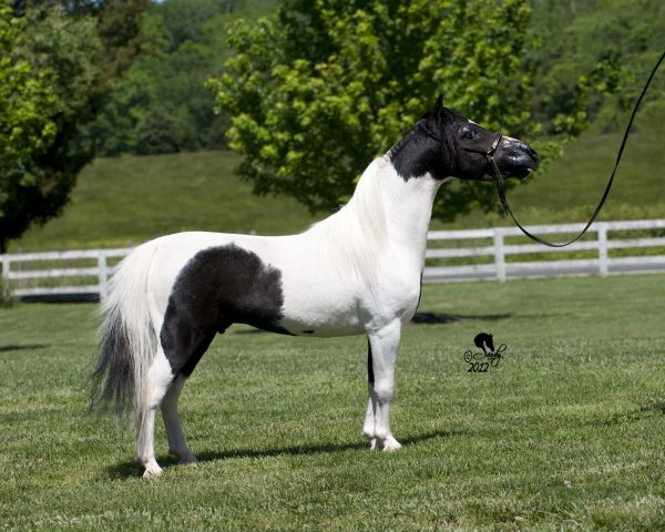 Pinto Miniature Stallion for Sale in Virginia