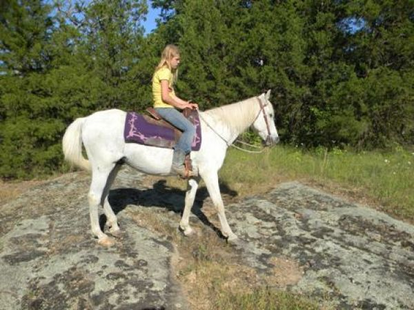 Grey Missouri Fox Trotter Gelding