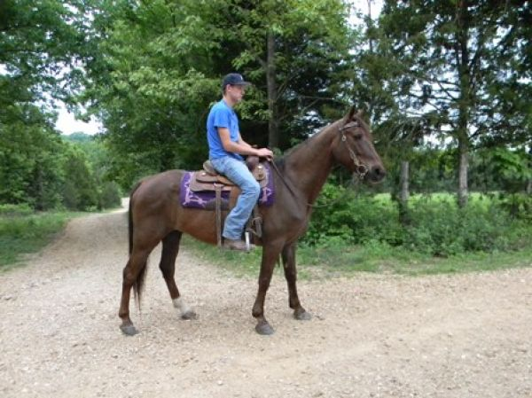 Chestnut Missouri Fox Trotter Horse for Sale in