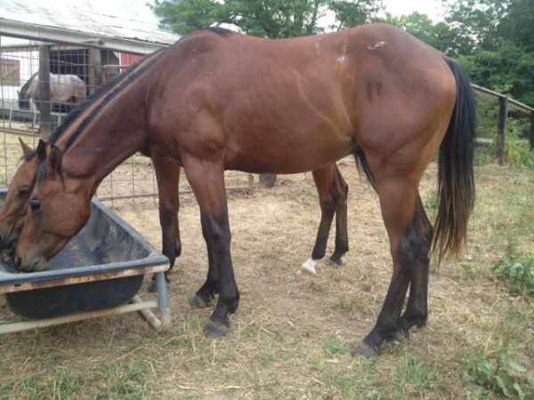 Bay Quarter Horse for Sale in Missouri