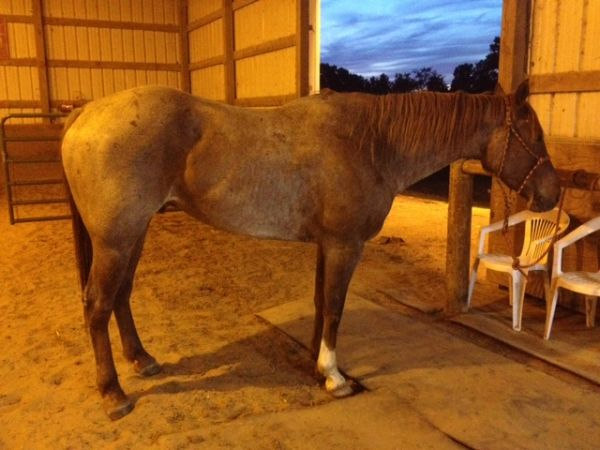 Red Roan Quarter Horse for Sale in Missouri
