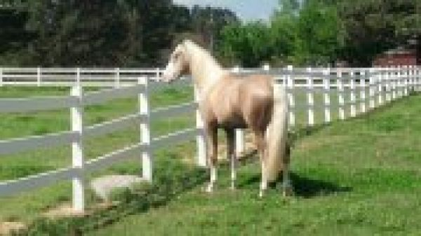 Palomino Lusitano Stallion for Sale in Tennessee