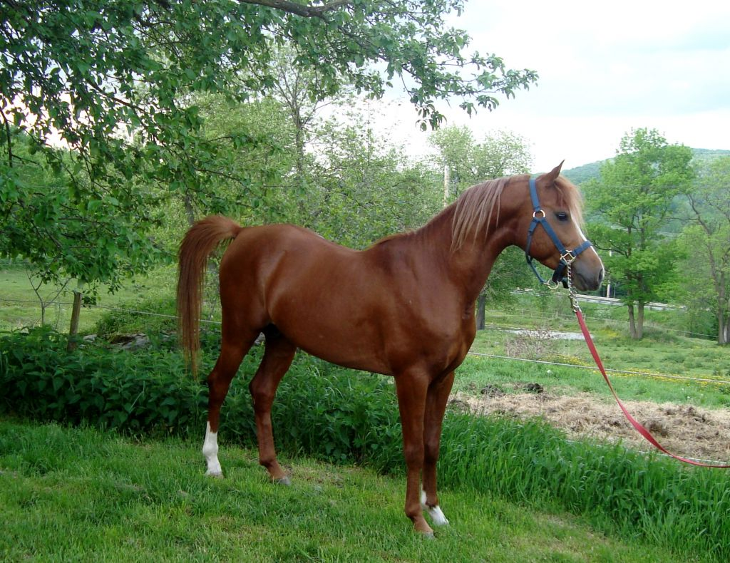 Chestnut Arabian Stallion