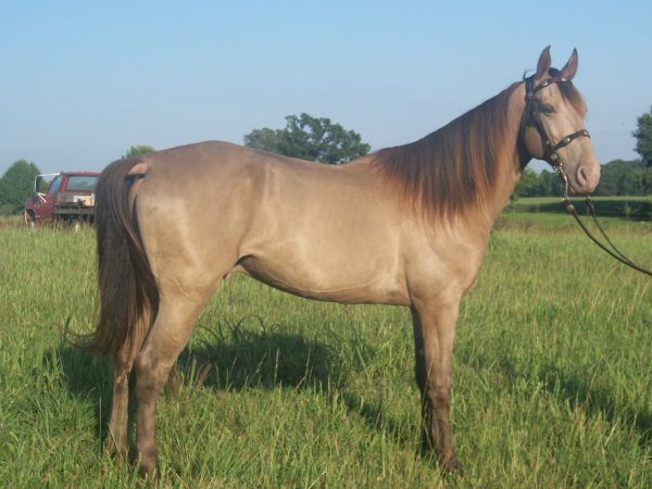 Champagne Tennessee Walking Horse for Sale in Alabama