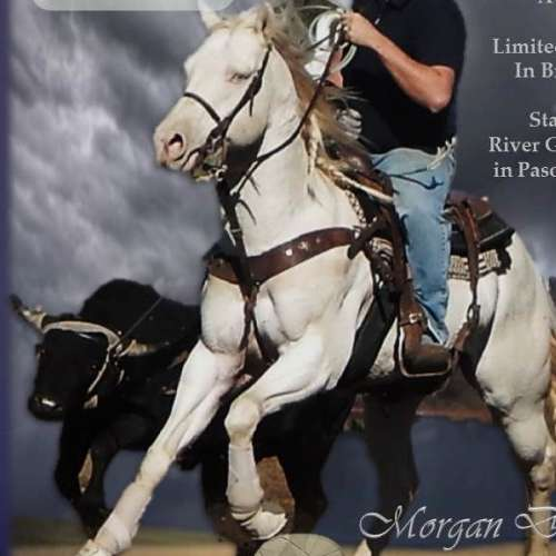 Perlino Quarter Horse Stallion for Sale in California