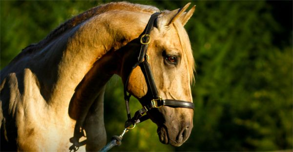 Palomino Lusitano Stallion for Sale in Oregon