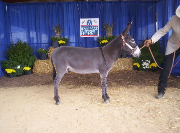 Grey Donkey Stallion for Sale in Tennessee