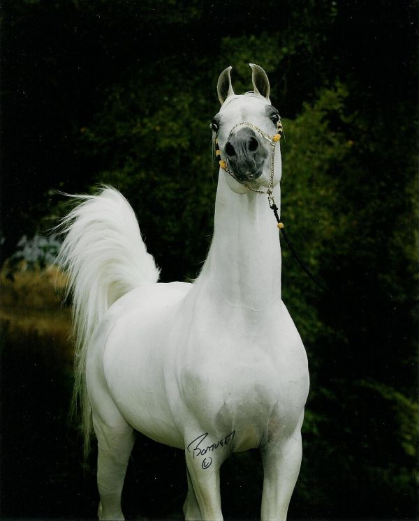 Grey Arabian Stallion for Sale in Oregon