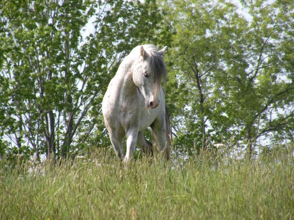 Grey Other Stallion for Sale in North Carolina