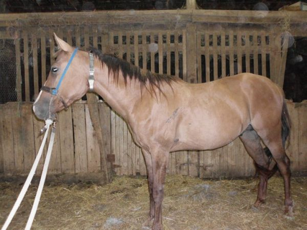 Dun Quarter Horse Stallion for Sale in Kentucky