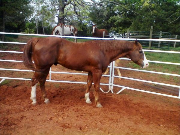 Sorrel Overo Paint Stallion for Sale in Oklahoma