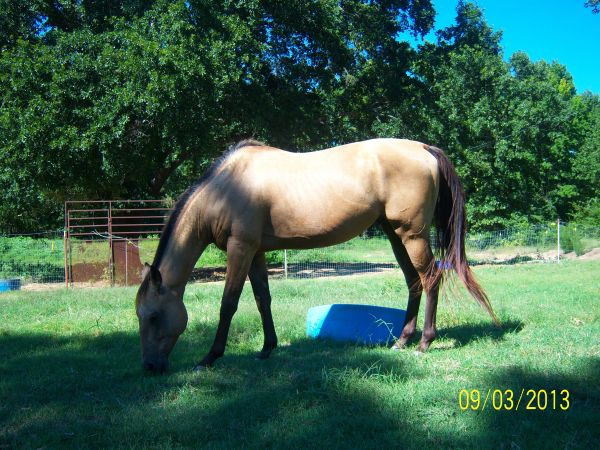 Buckskin Quarter Horse Stallion for Sale in Arkansas