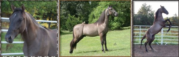Dun Tennessee Walking Stallion for Sale in Missouri