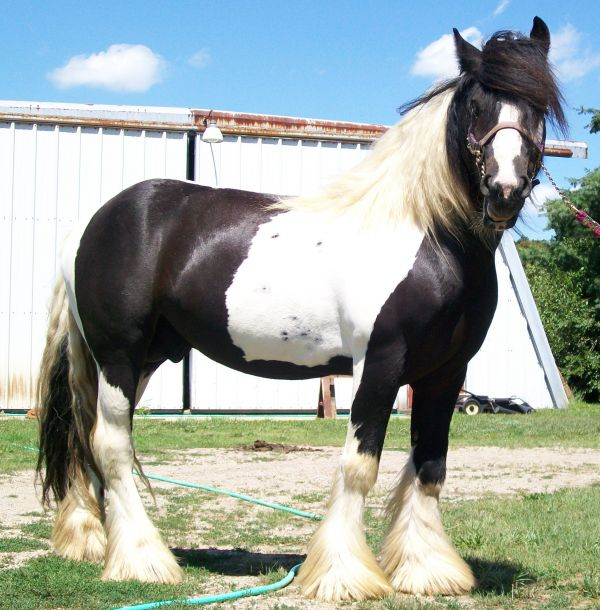 Pinto Gypsy Vanner Stallion for Sale in Michigan