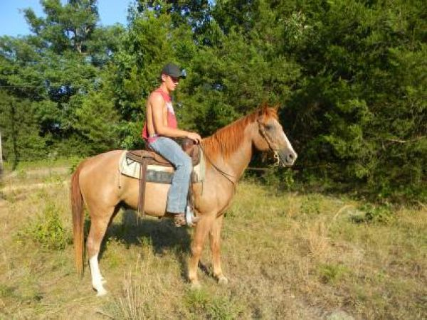Red Roan Missouri Fox Trotter Gelding