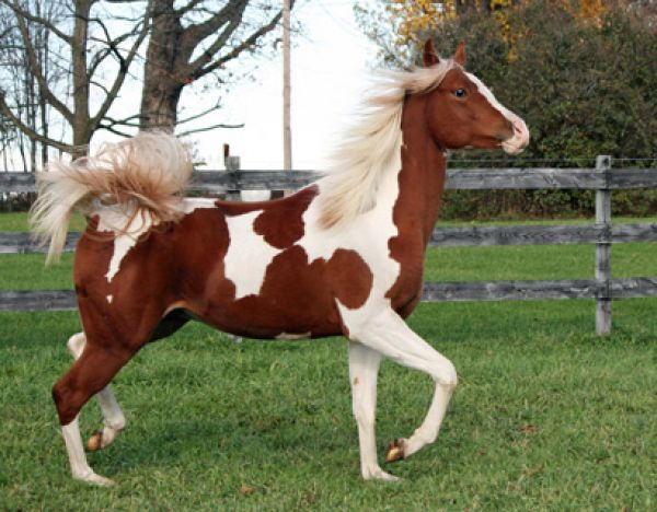 Chestnut Pintabian Stallion for Sale in New York