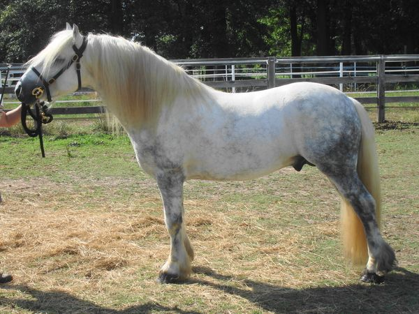 Grey Fell Pony Stallion for Sale in Kentucky