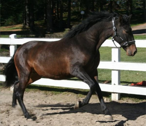 Bay Thoroughbred Stallion for Sale in Quebec