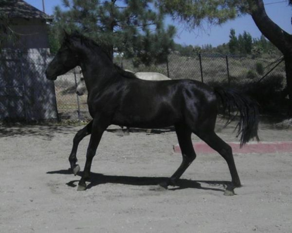 Black Marchador Stallion for Sale in California