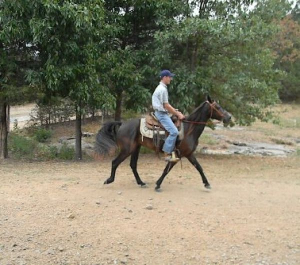 Black Missouri Fox Trotter Horse for Sale in