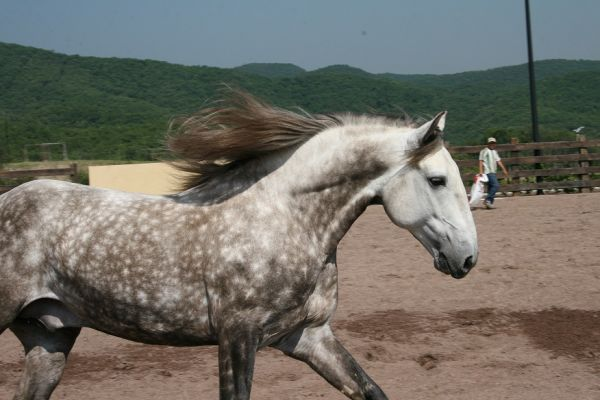 Grey Andalusian Stallion for Sale in Texas