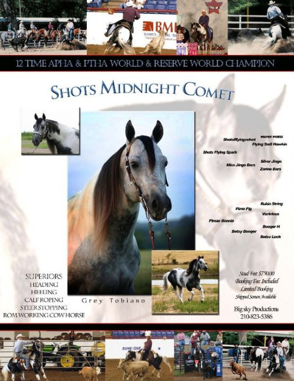 Pinto Paint Stallion for Sale in Texas