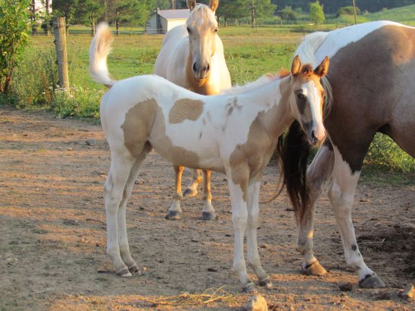 Red Dun Paint Horse for Sale in West Virginia