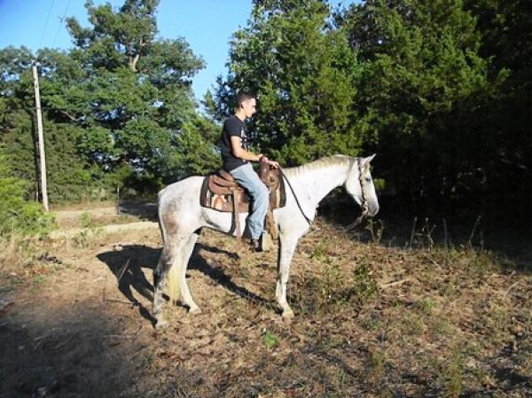 Grey Missouri Fox Trotter Horse for Sale in