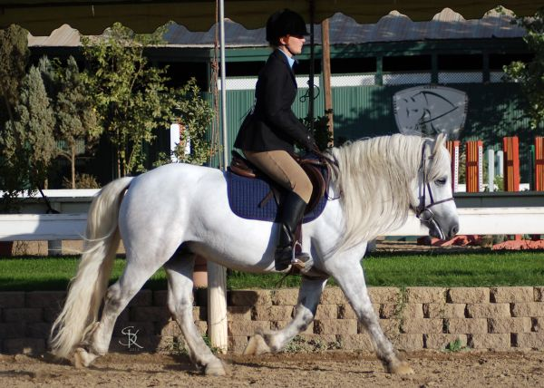 Grey Highland Pony Stallion for Sale in Nevada