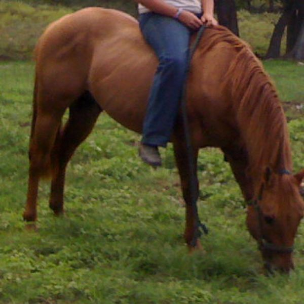 Red Dun Quarter Horse Stallion for Sale in Texas