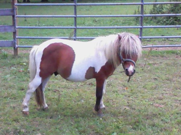 Pinto Miniature Stallion for Sale in Maryland