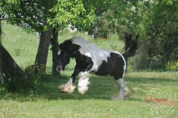 Pinto Gypsy Vanner Stallion for Sale in Wisconsin