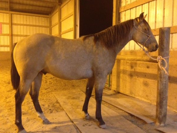 Buckskin Quarter Horse for Sale in Missouri