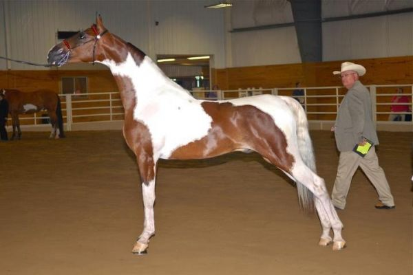 Pinto Saddlebred Stallion