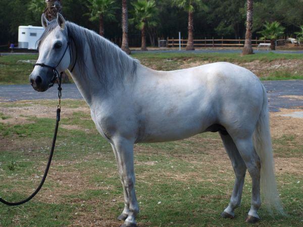 Grey Paso Fino Stallion for Sale in Florida