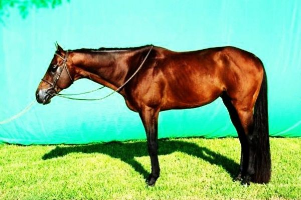 Bay Quarter Horse Stallion for Sale in Alabama