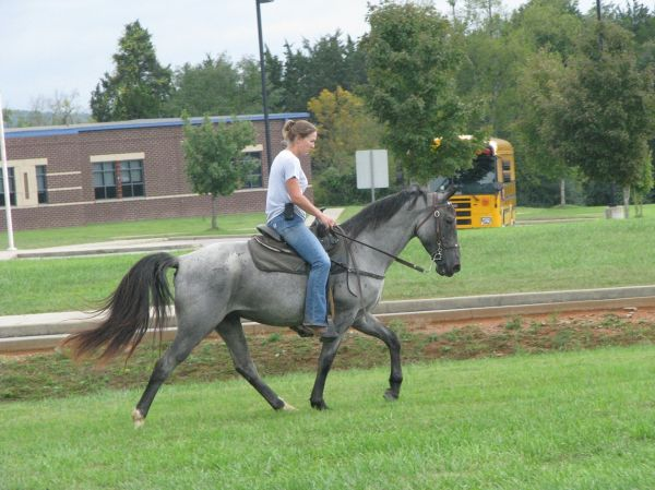 Blue Roan Tennessee Walking Horse for Sale in Alabama