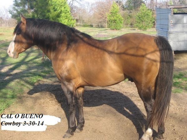 Dun w/ Blk Points Quarter Horse Stallion for Sale in Oklahoma