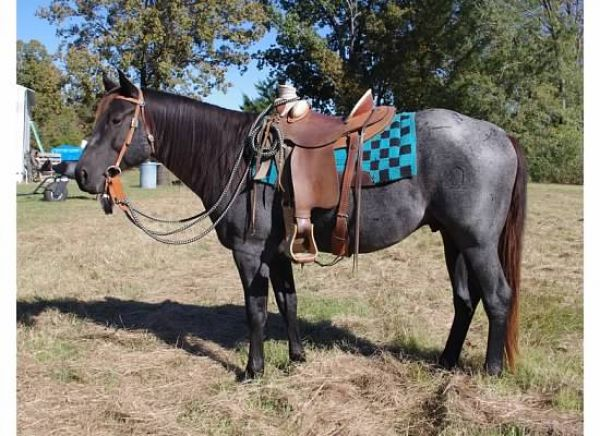 Blue Roan Quarter Horse Stallion for Sale in Mississippi