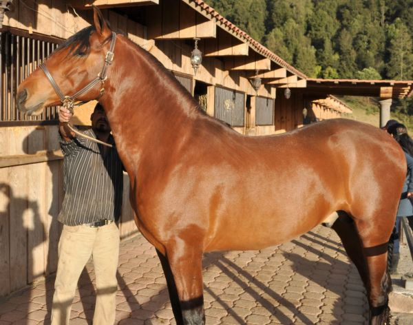 Chestnut Andalusian Stallion for Sale in New York
