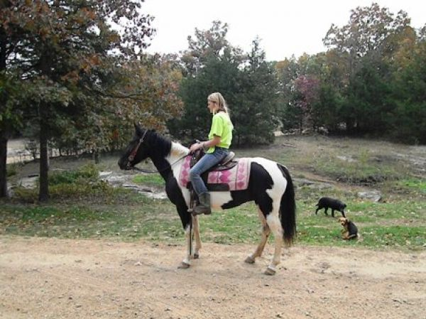 Tobiano Missouri Fox Trotter Horse for Sale in
