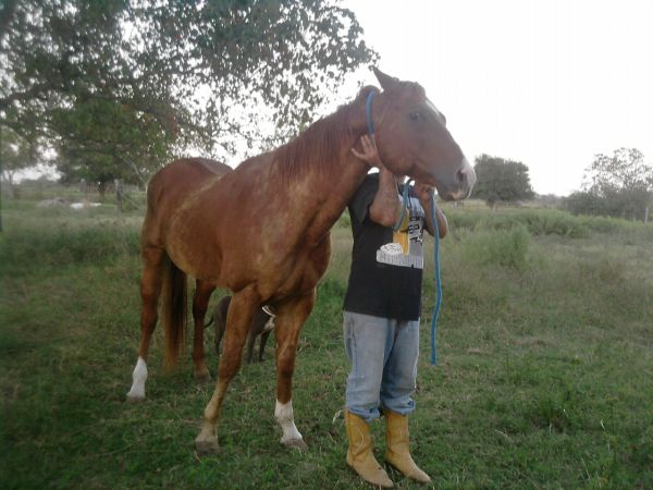 Other Quarter Horse Stallion for Sale in Texas