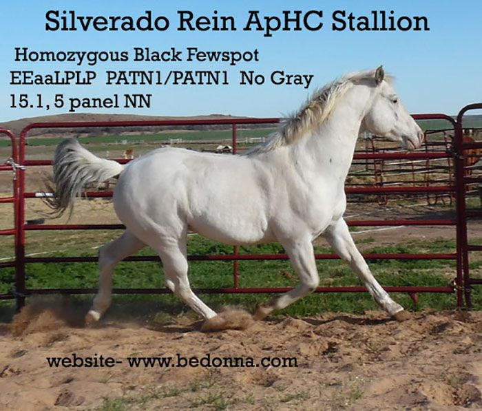 Blue Roan Appaloosa Stallion