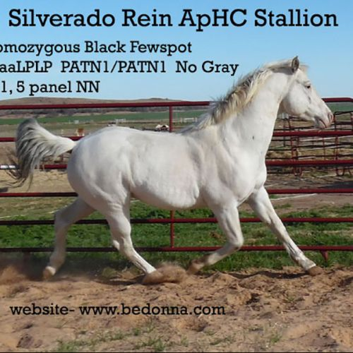 Blue Roan Appaloosa Stallion for Sale in Oklahoma