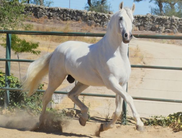 Grey Andalusian Stallion for Sale in New York