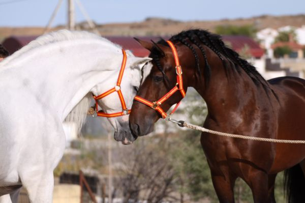 Bay Andalusian Stallion for Sale in New York