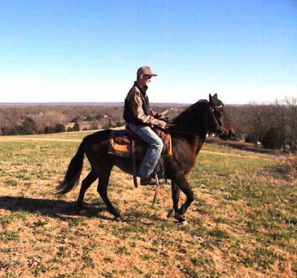 Bay Paso Fino Horse for Sale in Missouri
