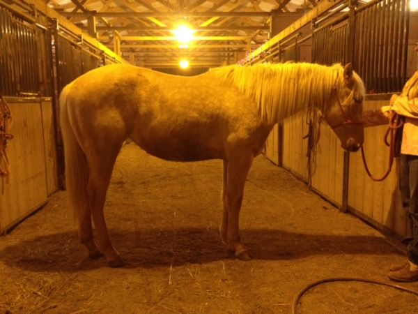 Palomino Quarter Horse Filly