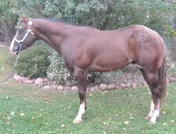 Chestnut POA Stallion for Sale in Wisconsin